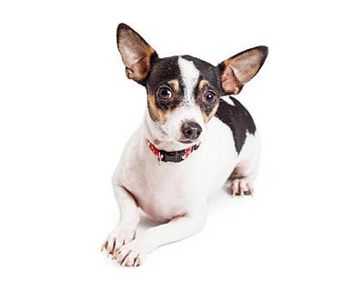 Adorable Chihuahua Dog Laying  Art Print by Susan Schmitz