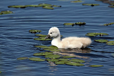 Photograph - Adorable Cygnet by Debbie Oppermann