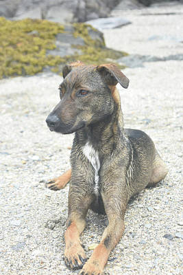 Photograph - Adorable Dark Brown Aruba Cunucu Dog Resting  by DejaVu Designs