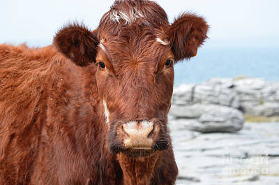 Photograph - Adorable Face Of A Brown Cow On The Burren by DejaVu Designs