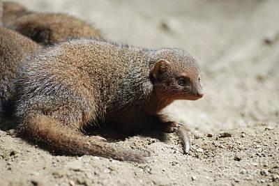 Photograph - Adorable Face Of A Dwarf Mongoose by DejaVu Designs