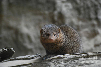 Photograph - Adorable Face Of A Great Mongoose by DejaVu Designs
