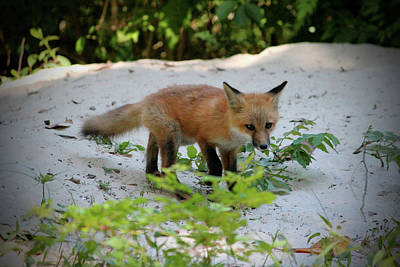 Photograph - Adorable Fox Cub by Cynthia Guinn