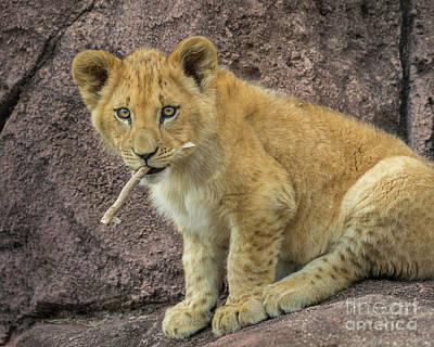 Photograph - Adorable Lion Cub by Karen Jorstad
