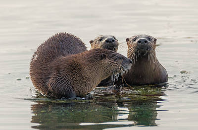 Photograph - Adorable Otter Family by Loree Johnson