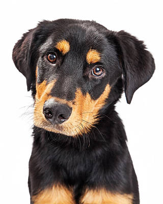 Rottweiler Wall Art - Photograph - Adorable Rottweiler Crossbreed Puppy Close-up by Susan Schmitz