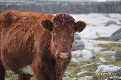 Photograph - Adorable Shaggy Brown Cow In Ireland by DejaVu Designs