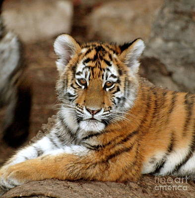 Photograph - Adorable Tiger Cub Lazing On Rock I by Christine S Zipps