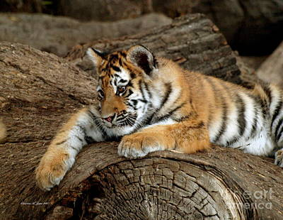 Photograph - Adorable Tiger Cub Lazing On Rock II by Christine S Zipps