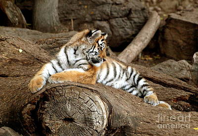 Photograph - Adorable Tiger Cub Lazing On Rock IIi by Christine S Zipps