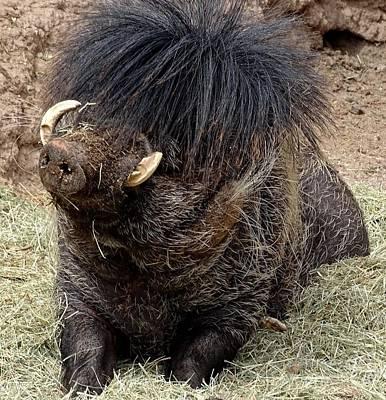 Photograph - Adorable Warty Pig by Deniece Platt