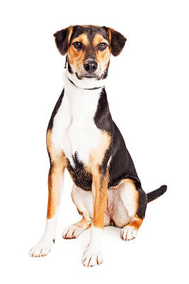 Beagle Wall Art - Photograph - Adorable Young Mixed Breed Puppy Dog by Susan Schmitz