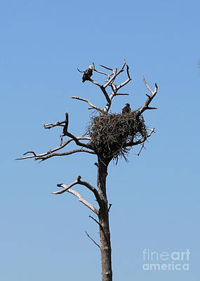 Photograph - Adult And Juvenile Bald Eagle In Florida Nest by Carol Groenen
