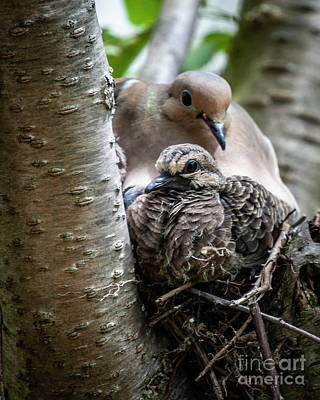 Photograph - Adult And Squab Mourning Doves by Tom Brickhouse