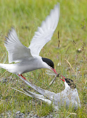 Arctic Air Photograph - Adult Arctic Tern Feeds Insect by Cathy Hart