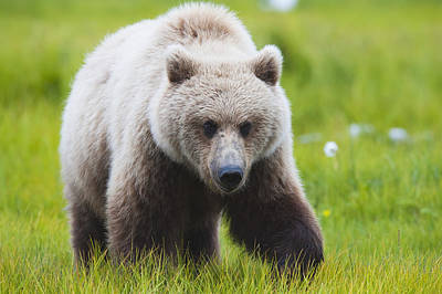 Born In The Usa Photograph - Adult Brown Bear Walking Amongst by Lorraine Logan