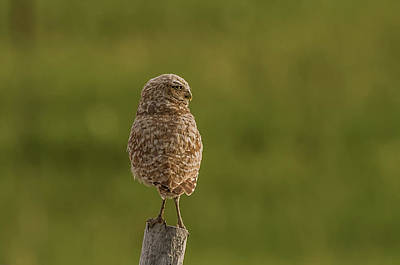 Photograph - Adult Burrowing Owl by Yeates Photography