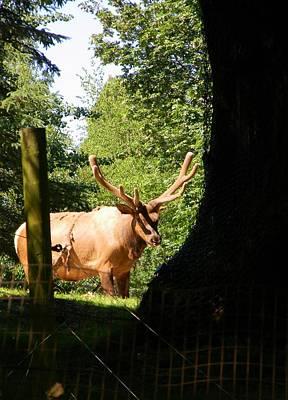 Thomas Kinkade - Adult Elk by Warren Thompson