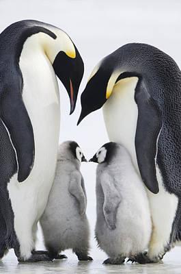 Adult Emperor Penguins  Aptenodytes Art Print