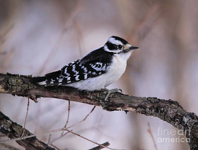 Photograph - Adult Female Downy Woodpecker by Cathy  Beharriell