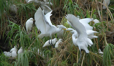 Photograph - Adult Great Egret Feeding Their Fledglings - Digitalart by Roy Williams