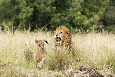 Photograph - Adult Lion And Cub In The Masai Mara by Jane Rix