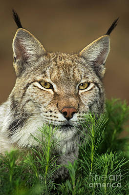 Photograph - Adult Lynx Felis Lynx Wildlife Rescue by Dave Welling