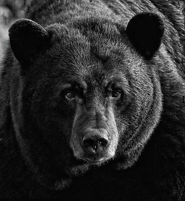 Photograph - Adult Male Black Bear by Coby Cooper