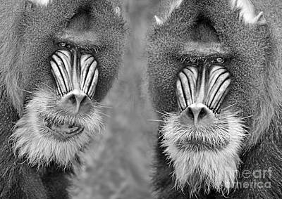 Photograph - Adult Male Mandrills Black And White Version by Jim Fitzpatrick