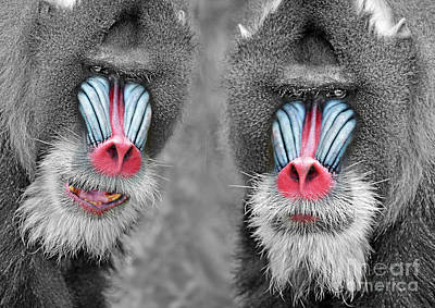 Digital Art - Adult Male Mandrills Selective Coloring Version by Jim Fitzpatrick