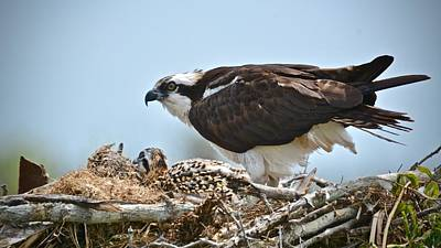 Photograph - Adult Osprey And Chicks by Carol Bradley