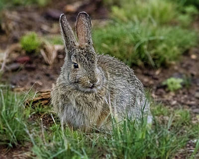 Photograph - Adult Rabbit Grazing by John Brink