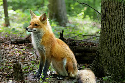 Photograph - Adult Red Fox Sitting by Dan Friend