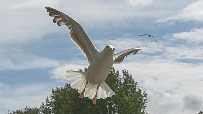 Photograph - Adult Seagull In Flight by Jacek Wojnarowski