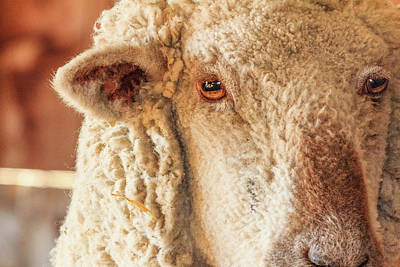 Photograph - Adult Southdown Sheep Headshot by Joni Eskridge