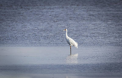 Adult Whooping Crane 2015-1 Print by Thomas Young
