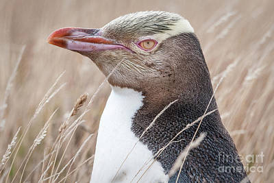 Photograph - Adult Yellow-eyed Penguin 3 by Werner Padarin