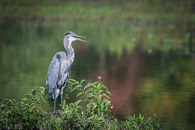 Photograph - Advice From A Great Blue Heron by Cindy Hartman