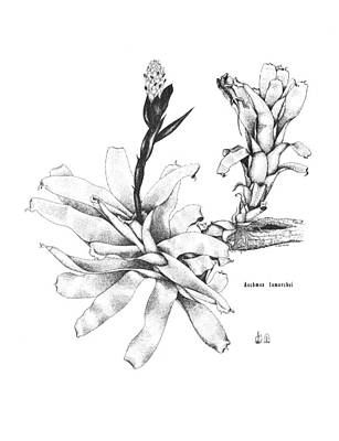 Air Plant Drawing - Aechmea Lamarchei by Sue Sill