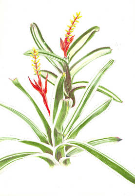 Epiphyte Painting - Aechmea Nudicaulis   by Penrith Goff