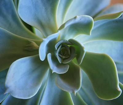 Art Print featuring the photograph Aeonium by Marna Edwards Flavell