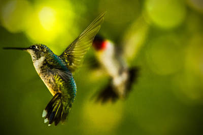 Photograph - Aerial Dance - Hummingbirds In Flight by Barry Jones