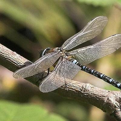 Warwickshire Photograph - Aeshna Juncea - Common Hawker Taken At by John Edwards