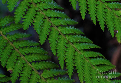 Photograph - Aesthetic Fern by Naomi Burgess