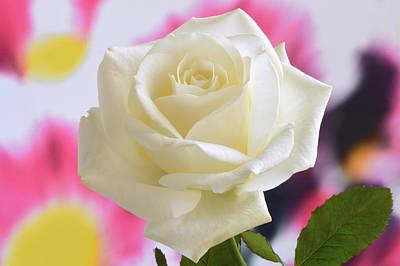 Aesthetic Rose. Original by Terence Davis