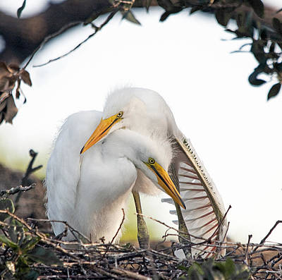 Great Egret Photograph - Affectionate Chicks by Kenneth Albin