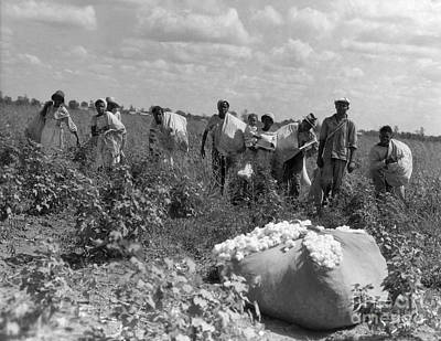 Cotton Picking Photograph - African Americans Picking Cotton by H. Armstrong Roberts/ClassicStock