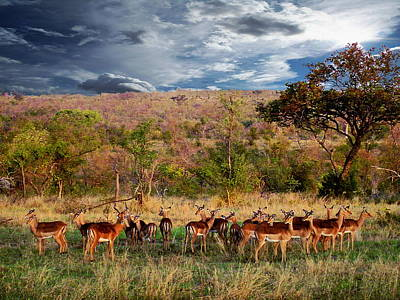 Photograph - African Antelopes by Anthony Dezenzio