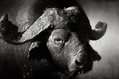 Portraits Royalty-Free and Rights-Managed Images - African buffalo bull close-up by Johan Swanepoel