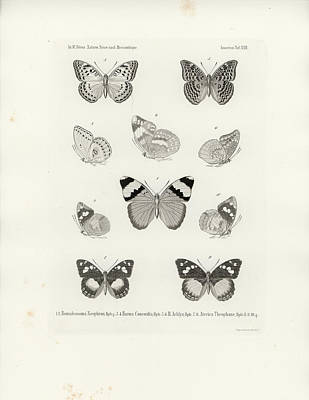 Drawing - African Butterflies by W Wagenschieber